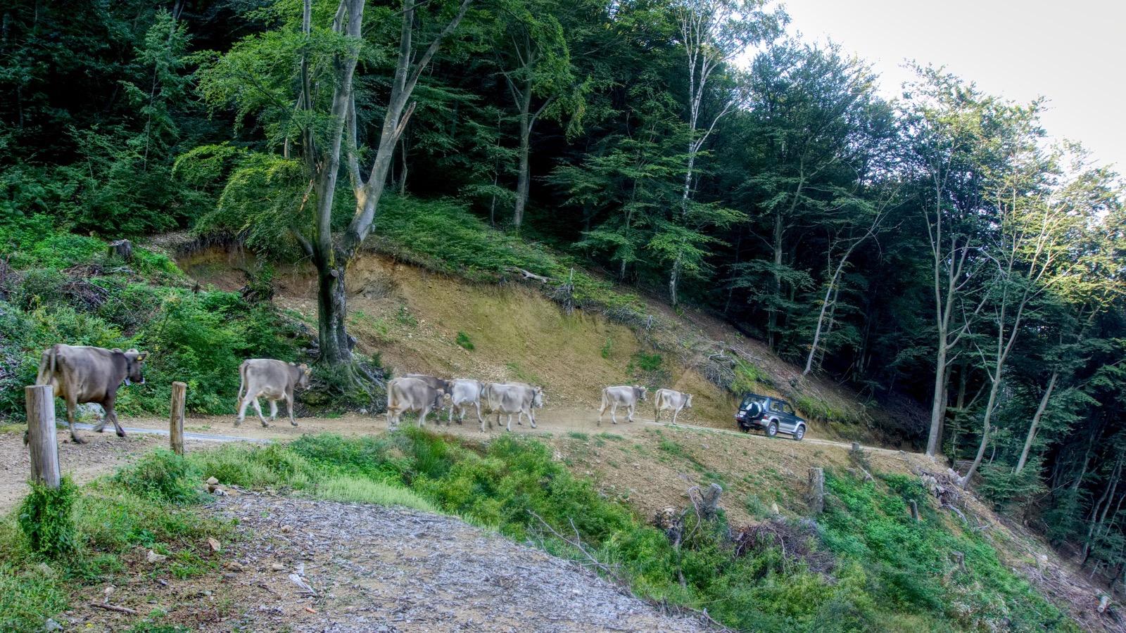 Kühe folgen Auto hinab.