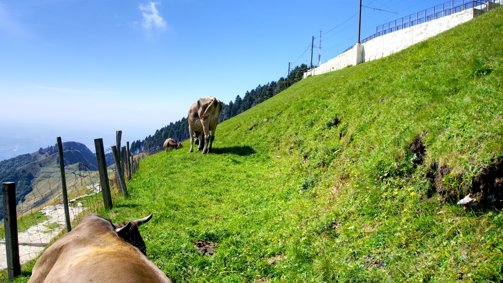 Kühe am Monte Generoso.