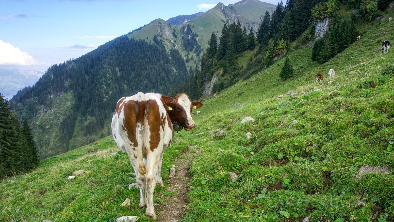 Immer wieder stehen Kühe im Weg.
