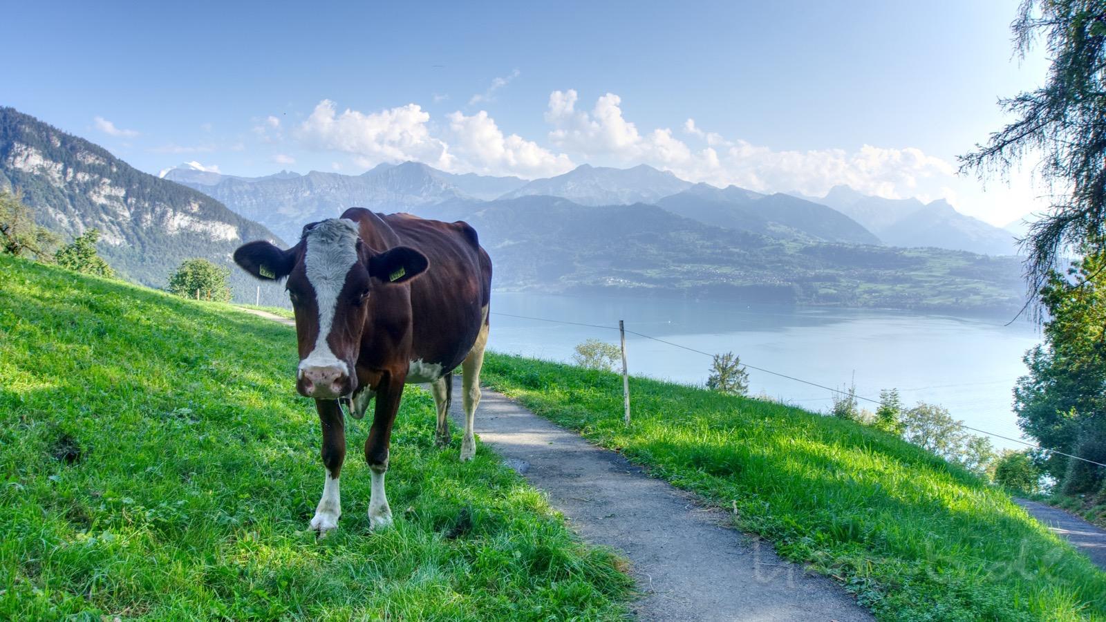 Freundliche Kuh bei Sigriswil.