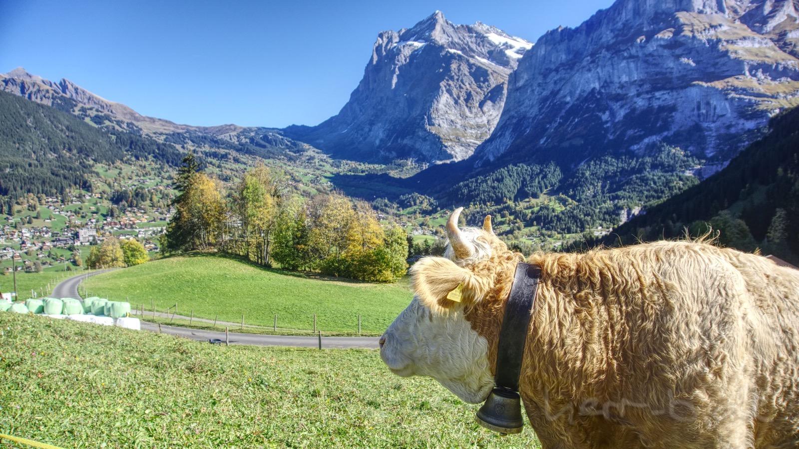 Eine Grindelwald-Kuh zeigt mir ihren Ausblick.