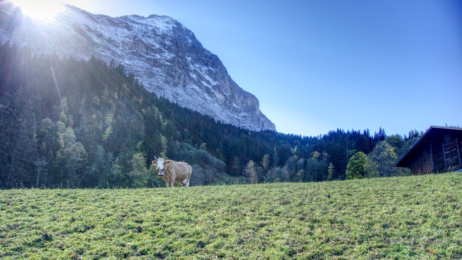 Eine Eiger-Kuh posiert vor der Nordwand.