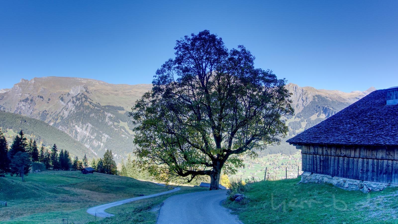 Der schöne Baum an der Brandegg.