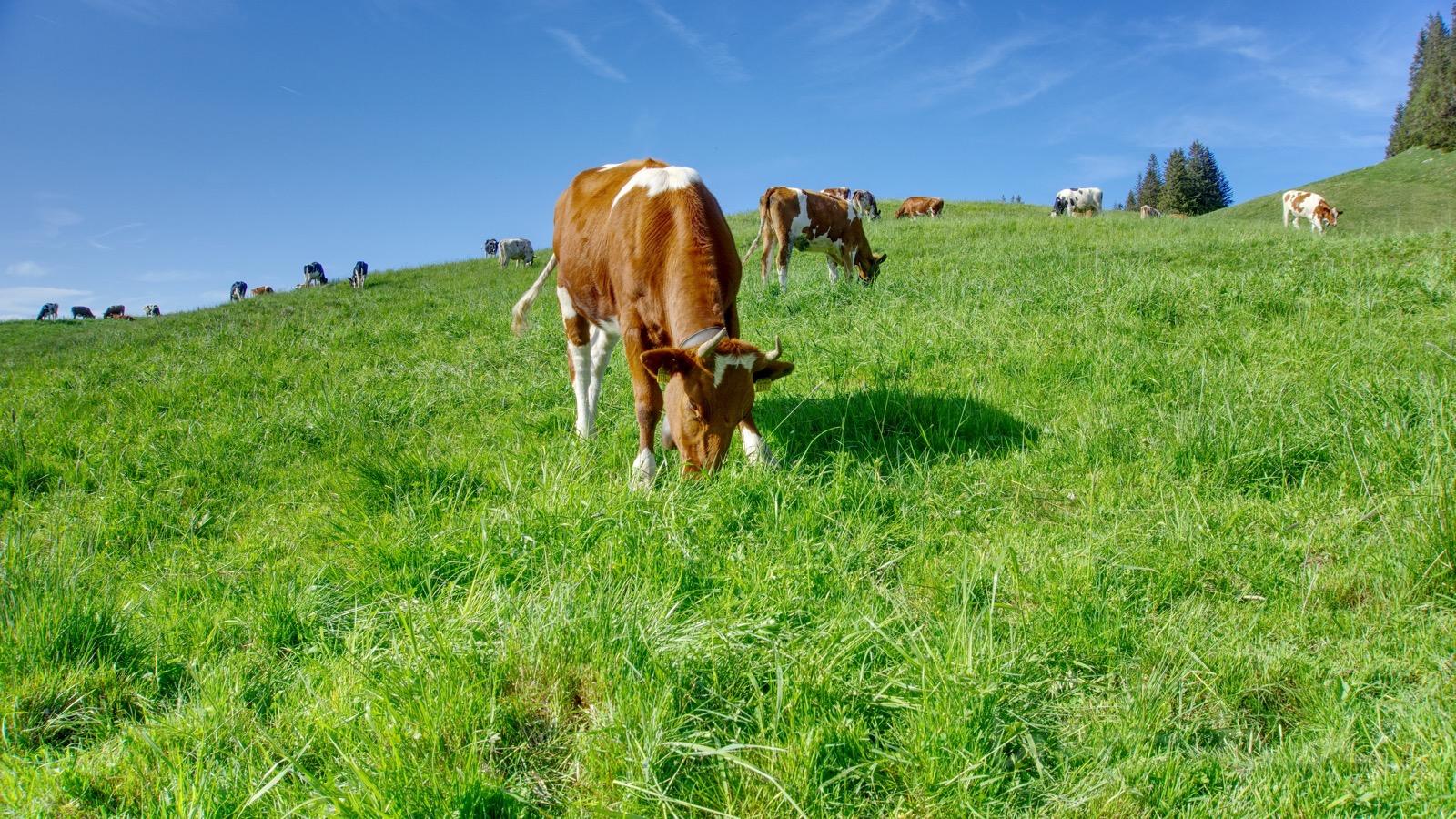 Die Hällstett-Kühe genießen das frische Gras.