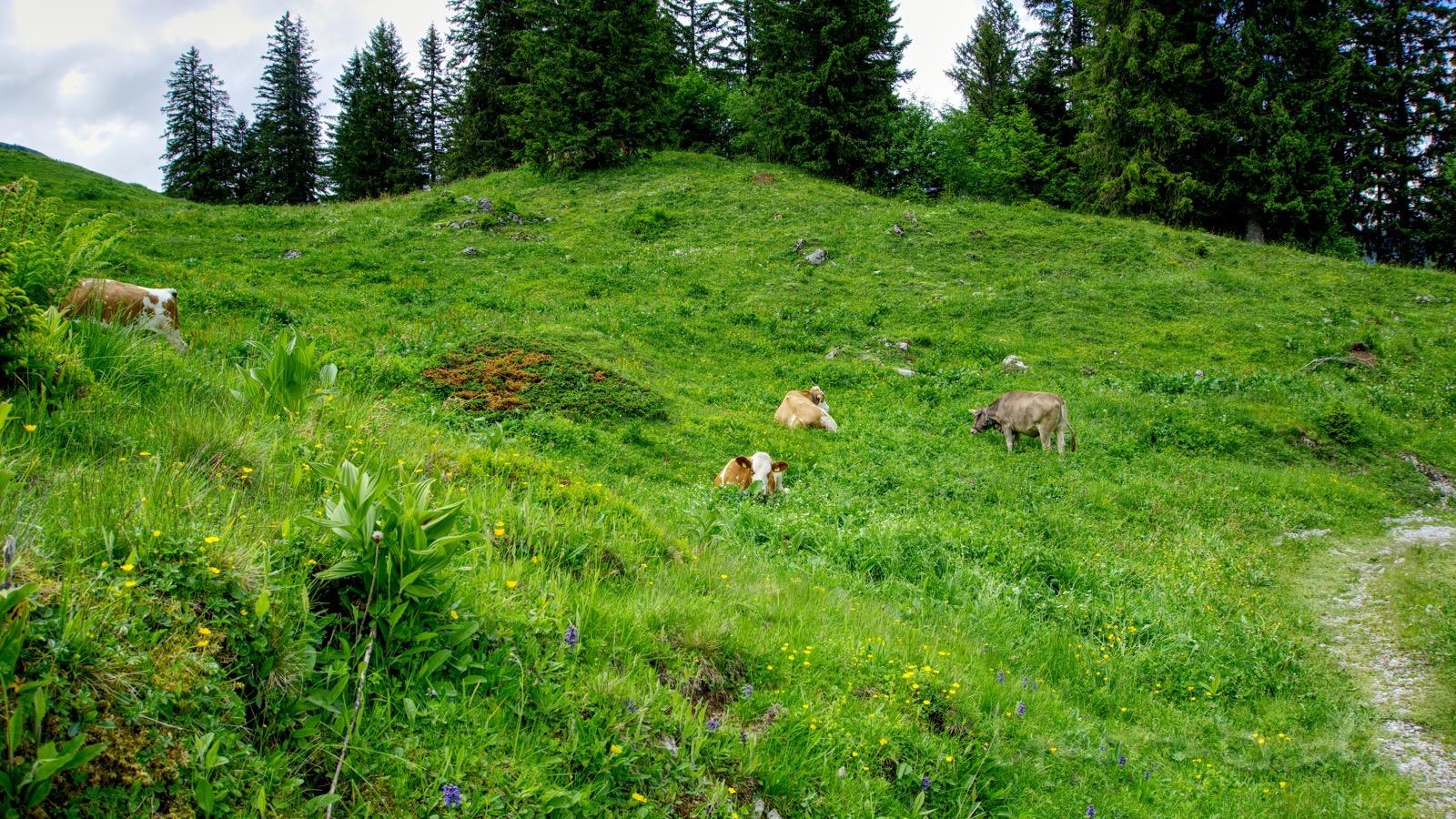Die Tschingel-Kuhherde auf der leckeren Weide.