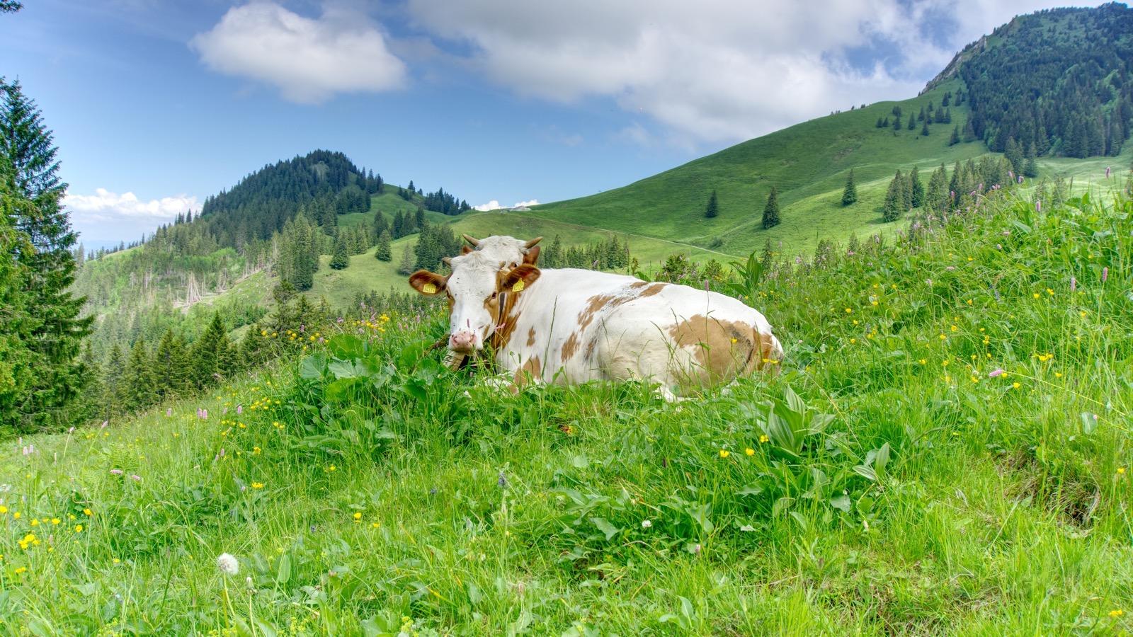Zwei kuschelnde Kühe.