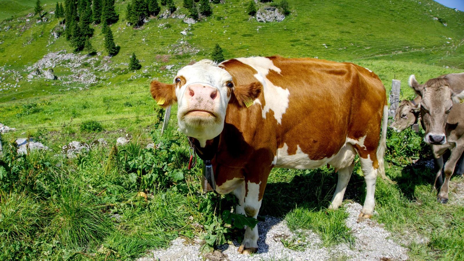 Neugierige Kuh an der Alphütte Obernünenen.