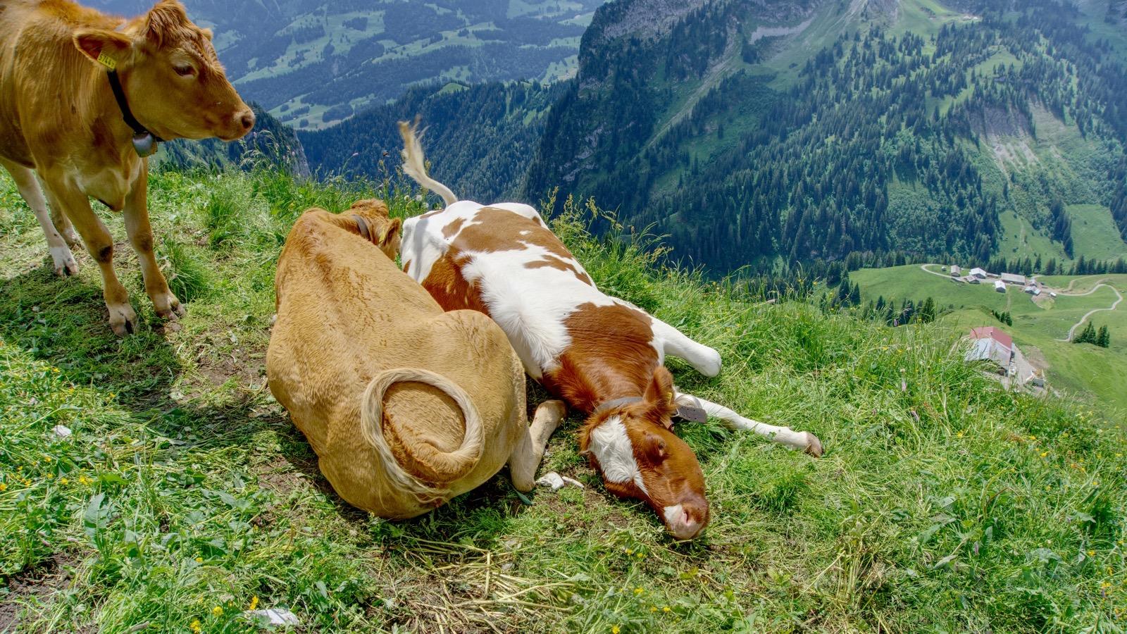Morgete-Kuh macht es sich gemütlich.