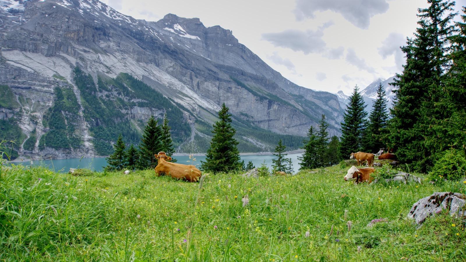 Kühe mit Ausblick auf den Oeschinensee.