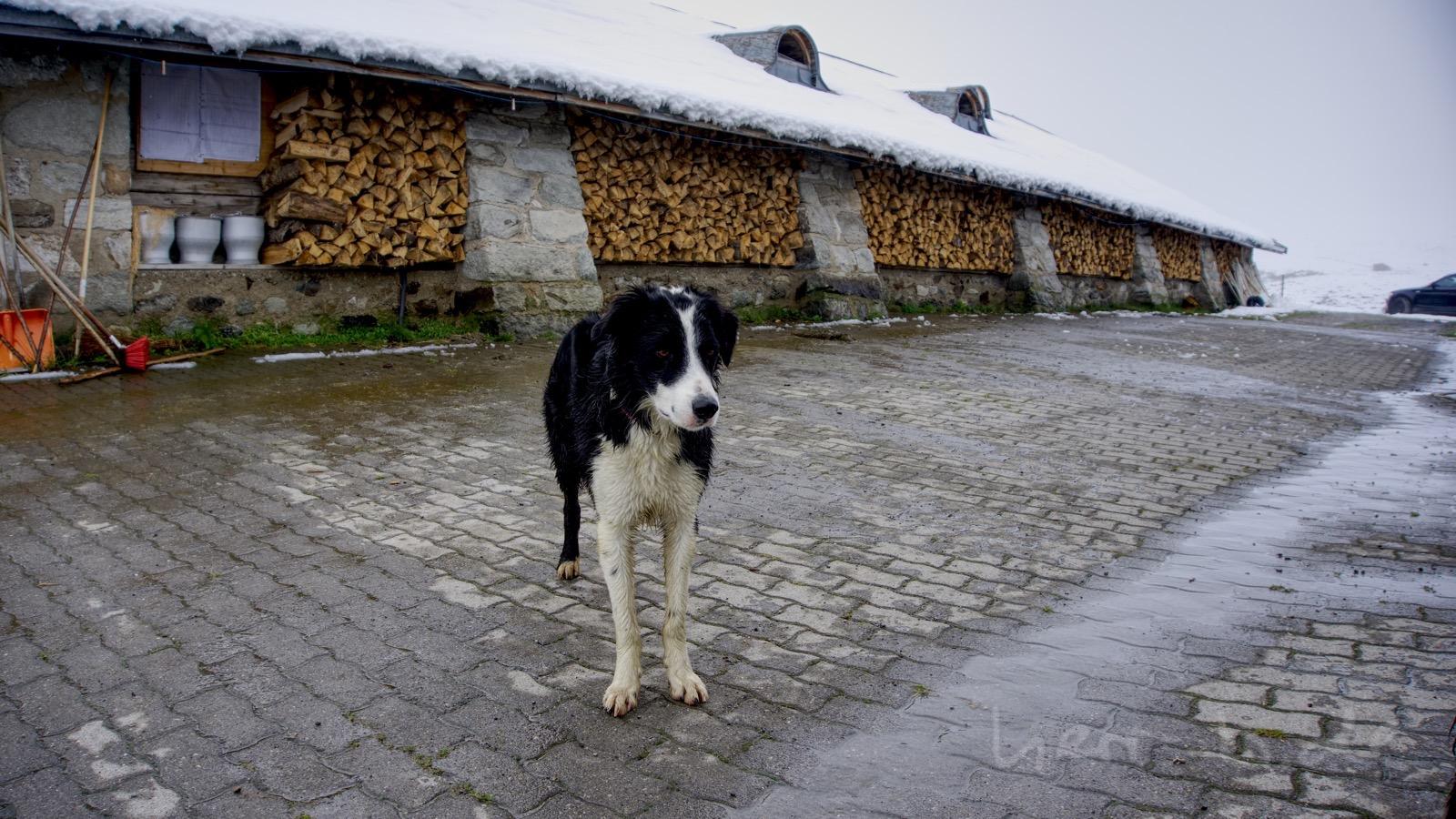 Einer der beiden verspielten Hunde auf der Alp Nova.